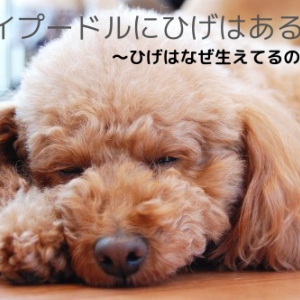 トイプードルにひげはあるの?犬のひげの役割やお手入れ方法について