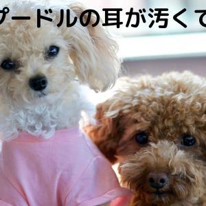 トイプードルが臭い原因は耳が汚いからなのか。〜犬の耳の病気〜