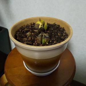 やっぱり成長が遅かった、10月に水栽培を始めたアボカドの種