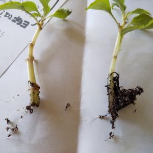 挿し芽をしたペチュニアとインパチェンスが発根していた