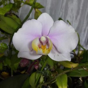 我が家の胡蝶蘭