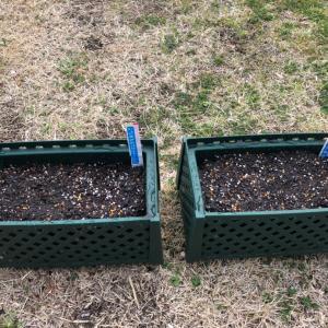 プランター菜園 ラディッシュと春菊