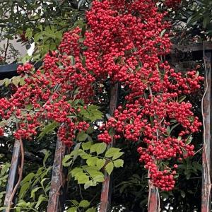ピラカンサORナナカマドどっち?|近所を散歩していて見かけた赤い実を付けた植物