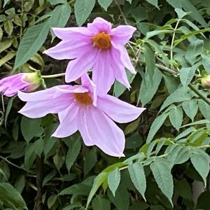 キダチダリア|近所の散歩で見かけた背の高い薄紫の花