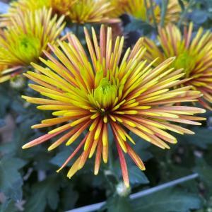 チスパ(菊)|近所のホームセンターの園芸店で見かけた変った花