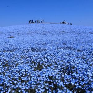 【ネモフィラの名所】おすすめ7選 私が選んだ青い花ネモフィラの名所7選