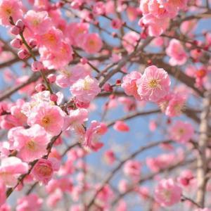 【梅の花の名所】おすすめ7選 私が選んだ梅の花の名所7選