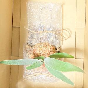 フリマアプリで植物(エアプランツ・ビカクシダ)第四種郵便発送方法! 謎の人の日常No.8