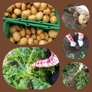収穫したジャガイモを全部洗われる😑