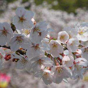 桜、満開(小城公園 佐賀県小城市)