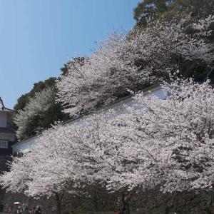 大村公園の桜(長崎県大村市)