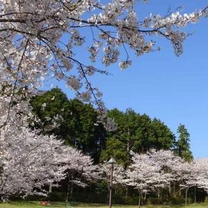 琴平スカイパークの桜(長崎県大村市)