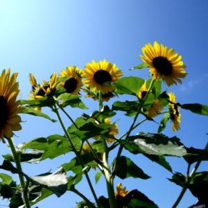 ☆太陽の花☆