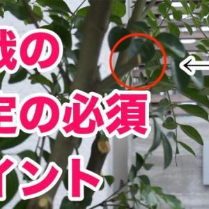 植栽シマトネリコの剪定方法