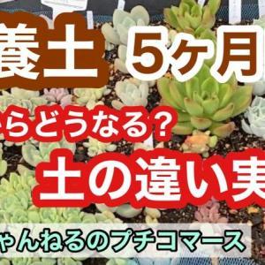 【多肉植物】土の違い培養土で育てて5ヶ月