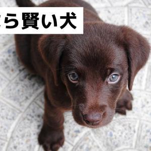 賢い犬ランキング犬種8選?賢い犬は飼いにくい???