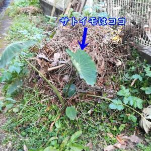 【栽培日記】来週は寒い! 最後のサトイモを収穫したよ