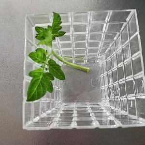 【栽培日記】脇芽から育てたトマトがやっと収穫期に?