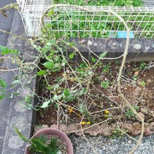 【栽培日記】脇芽から育ったイエローアイコ(ミニトマト)ありがとう!と思ったら驚きw