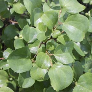 クエスト:まんじゅうの葉っぱ集め
