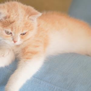 【短足猫を飼いたい!】マンチカン以外の短足猫7種も紹介