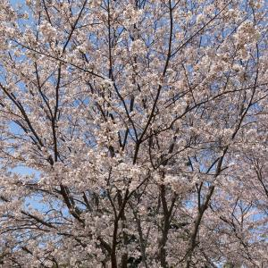 桜〜♫桜〜♬(*'▽'*)