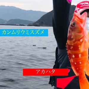 カンムリウミスズメと根魚