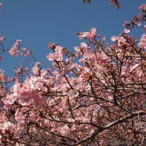前橋の河津桜が咲き始めました。