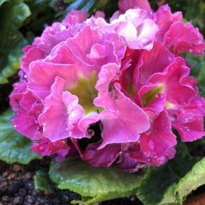 君子ランの冬越しと冬の花