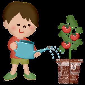 トマトの実は菜園ポットと地植えでどちらが多いのか比較する為に植えました