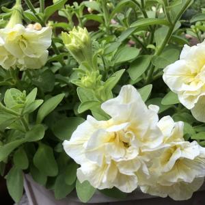 6月の花と薔薇の「ステファニーグッテンベルク」と「シャトー・ドゥ・シュベルニー」の様子