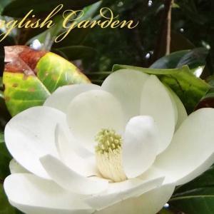 MAGNOLIA GRANDIFLORA (タイサンボク)
