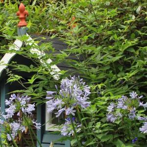LIGHT BLUE AGAPANTHUS (アガパンサスの水色の花)