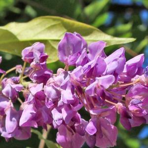 THE FIRST FLOWERING OF WISTERIA IN MID-SUMMER (真夏にフジが初めて開花)