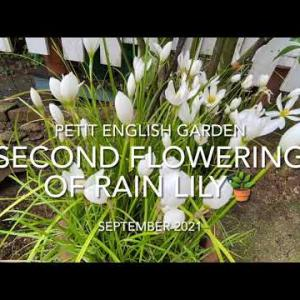 TODAY'S VIDEO: The Second Flowering of Rain Lily