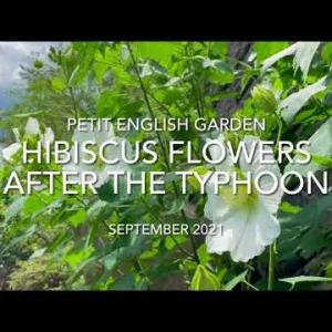 TODAY'S VIDEO CLIP: Hibiscus after the Typhoon