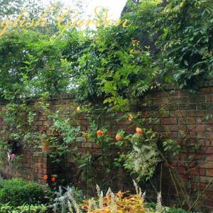 CLIMBING ROSES ON THE BRICK WALL (レンガ塀のつるバラ)