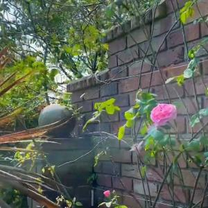 REPEATED FLOWERING OF GERTRUDE JEKYLL ROSE (バラ、ガートルードジェキルの返り咲き)