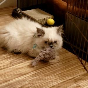 ほたてくんに紐のおもちゃを出すと大変なことに…【ヒマラヤンの子猫】