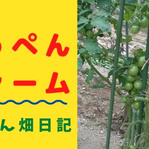 途中まで育つが赤くならないトマト。残念無念の収穫断念。