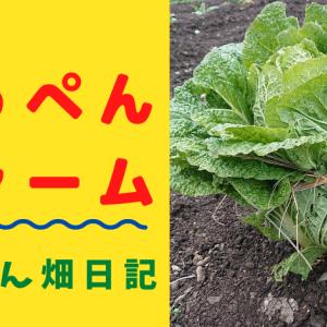 白菜の収穫と保存「白菜縛り」