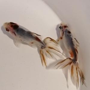 ネットで金魚を購入してトラブル発生
