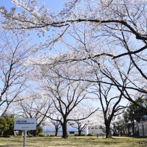 問屋町の桜2020
