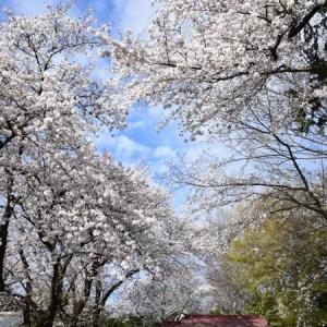 能護寺・出来島伊奈利神社・妻沼聖天山の桜2020