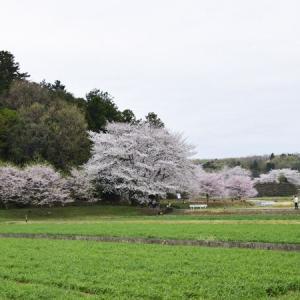 江南方面の桜2020