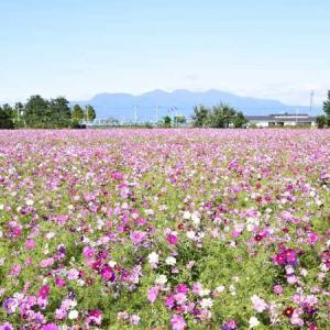 伊勢崎市田中島町のコスモス畑と赤城山