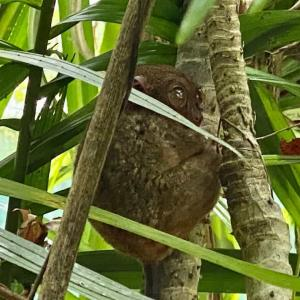 ボホール島へ。世界最小のメガネザルの一種「ターシャ」へ会いに行ってみた