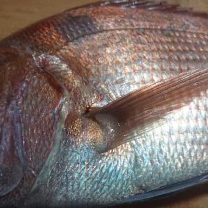 【板前レシピ】鯛/真鯛/さばき方/食べ方