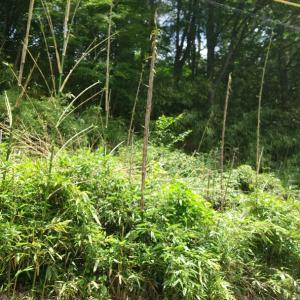 竹やぶも復活