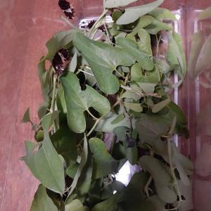 ジャコウアゲハの幼虫たちです♬